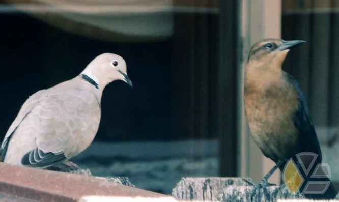 doves_palomas_bird_fence_cuba_miami_yadira_escobar_blog_pigeon_crow